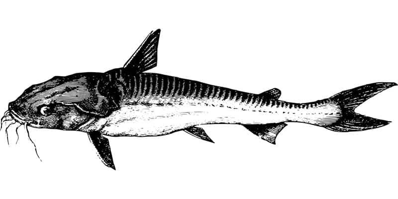 Fischerprüfung Bayern Fischart Wels