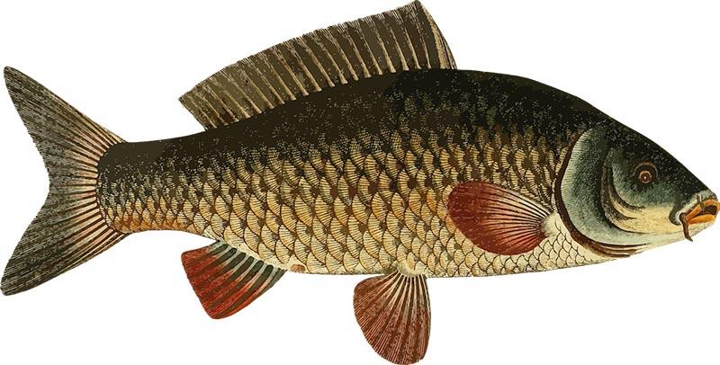 Fischerprüfung NRW Fischkarten Karpfen