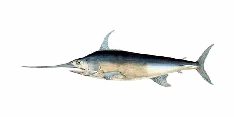Fischerprüfung Bonn Fischbestimmung Fischtafel Schwertfisch