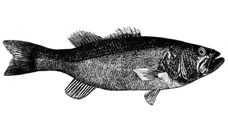 Fischerprüfung Essen Fischbilder Barsch