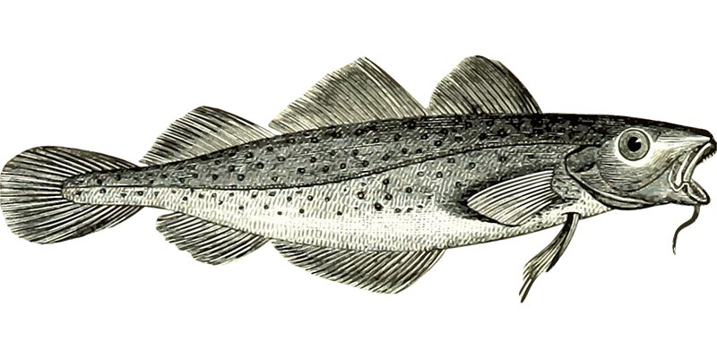 Fischerprüfung Oberhausen Fisch Bildtafel Kabeljau