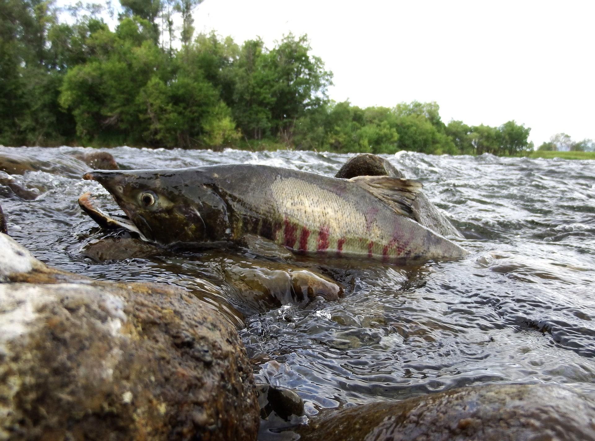 Angelschein Stade - ein Fisch im Fluss